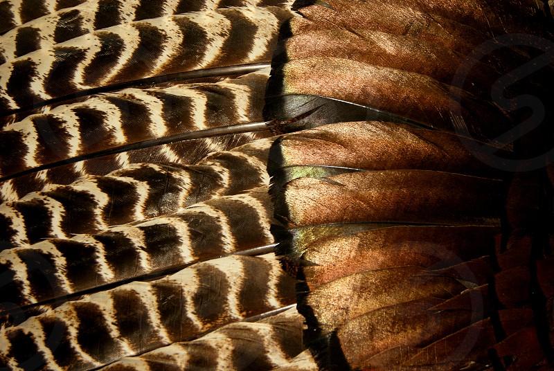 Turkey Feathers photo