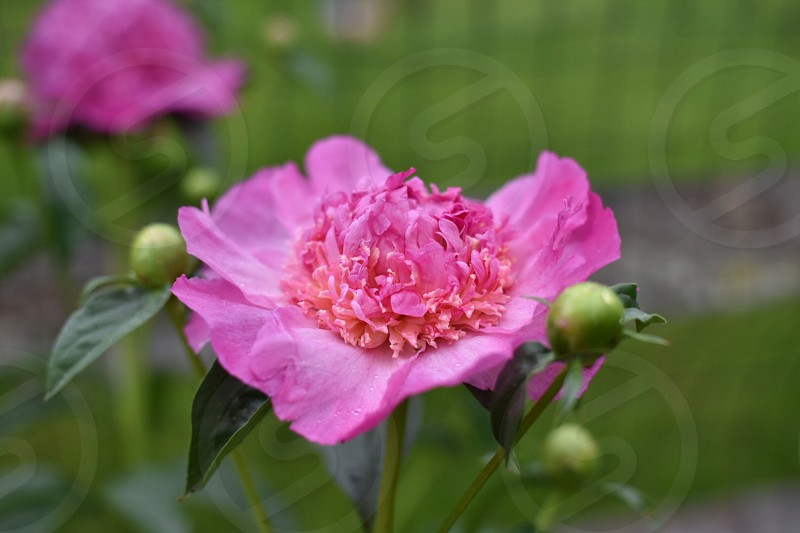 Pink flower nature peonies natural beauty  photo