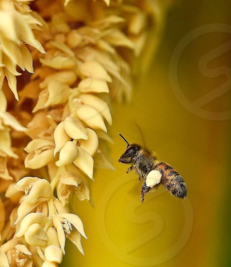 InsectbeepollinationfloweryellowNature  photo