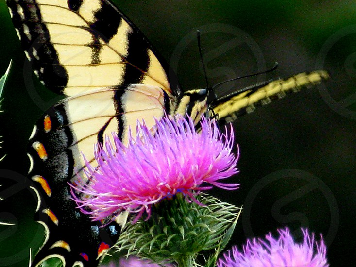 butterfly on thistle 2 photo