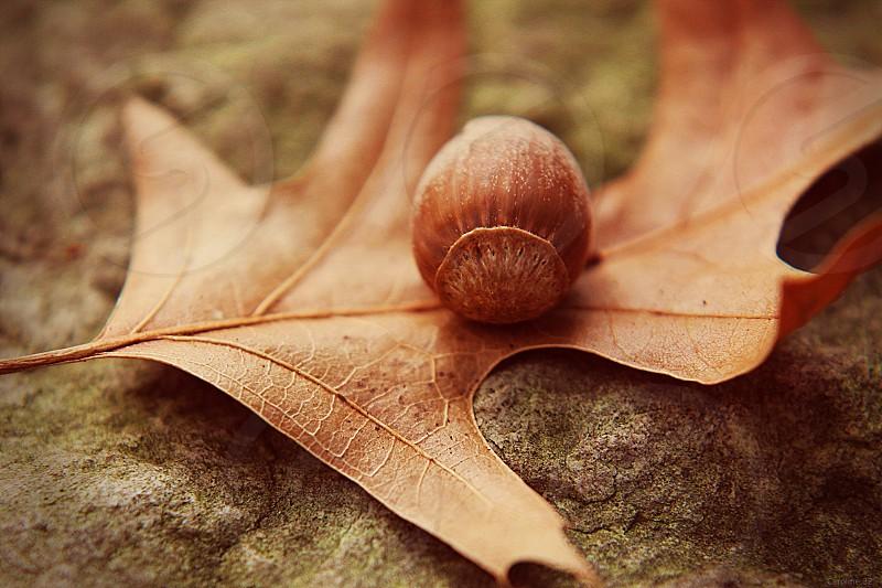 Oak Leaf & Acorn photo