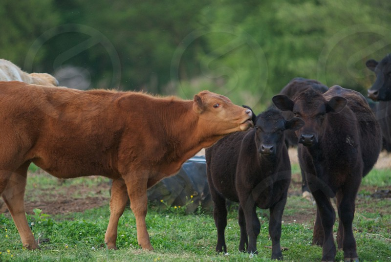 Life on the Farm with Cows photo