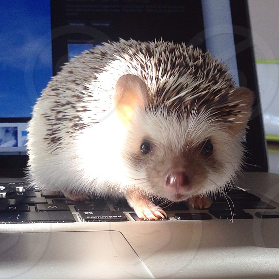 Hedgehog laptop computer cute baby animals small pet  photo