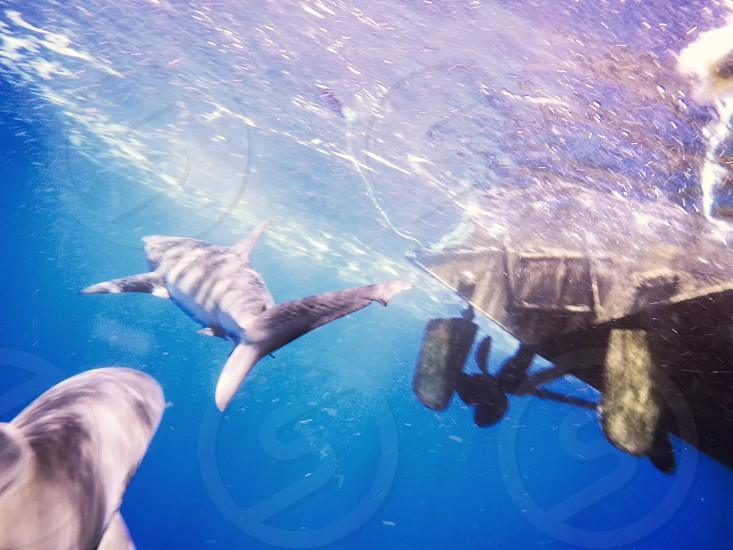 Shark Diving North Shore Hawaii photo
