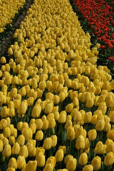 Tulip field landscape in the Netherlands photo