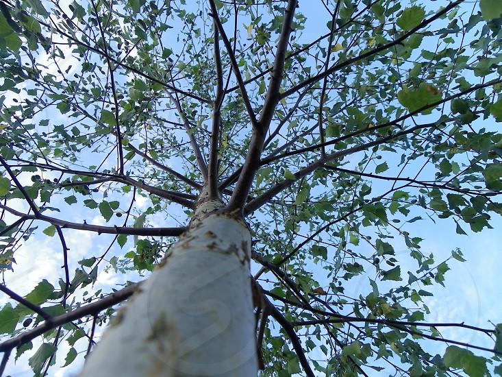 Maple tree natures umbrella photo