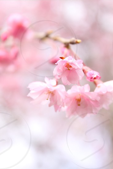 close-up photo of pink Cherry Blossom flower photo