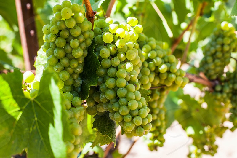 white grapes and green leaves  photo