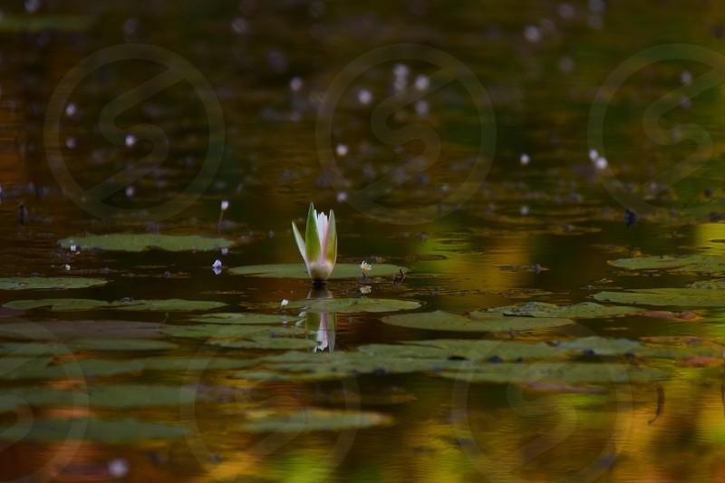 lilypad bloom on pond photo