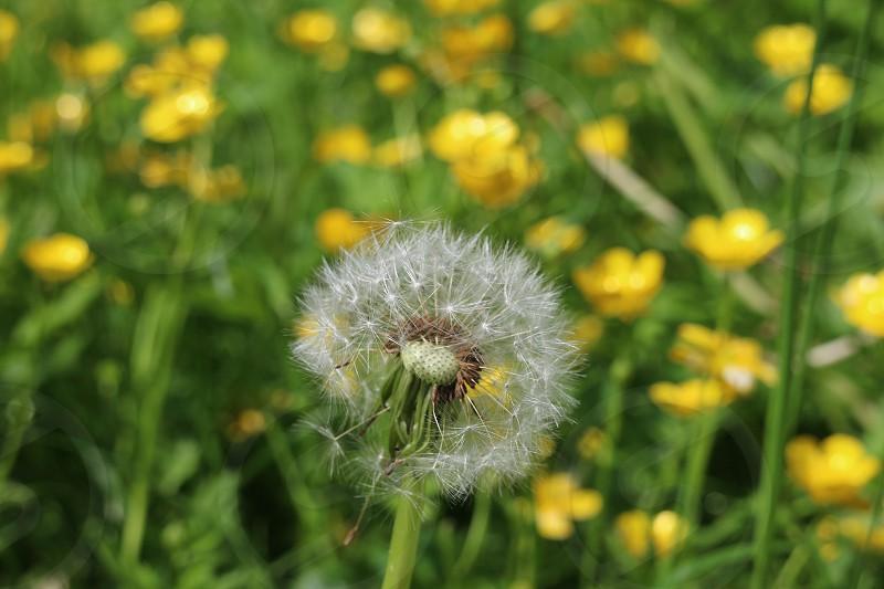 Dandelion among the yellow flowers photo