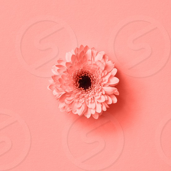 Post card with gerbera flower in a color of the year 2019 Living Coral Pantone on a same color background. Nature background. Top view. Flower spring concept. photo