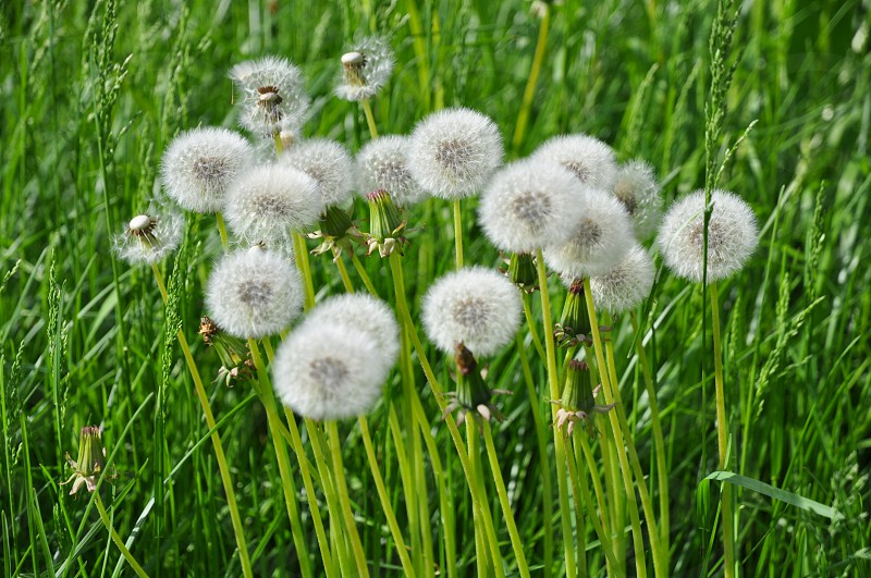 dandelions green pasture life photo