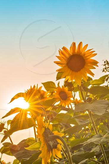 sunflower fields forever photo