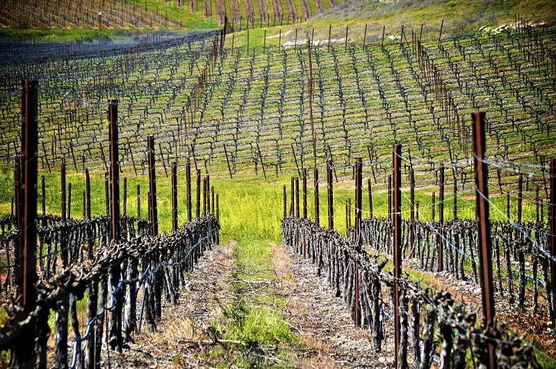 Late into Winter in Napa Valley. Bare Vineyard. photo
