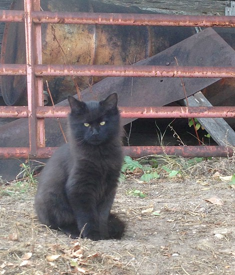Black cat farm yard country living photo