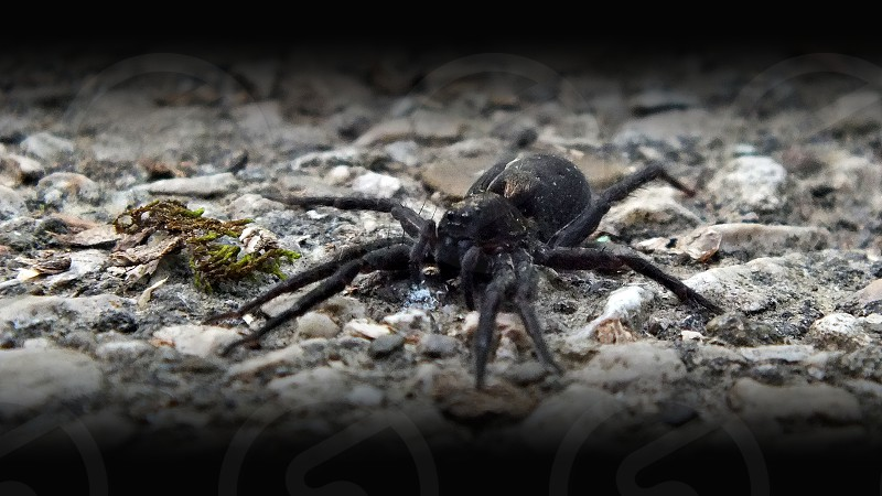 Scary looking large spider on the ground in the forest with vignette. photo