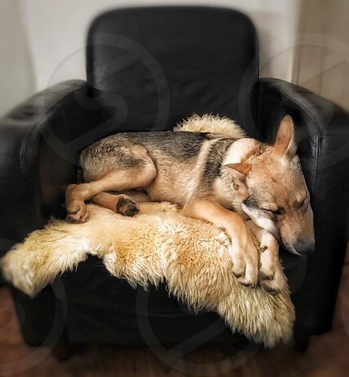tilt shift photo of adult tan-and-black dog sleeping on brown fur rug on black leather single-seat sofa inside well lit room photo