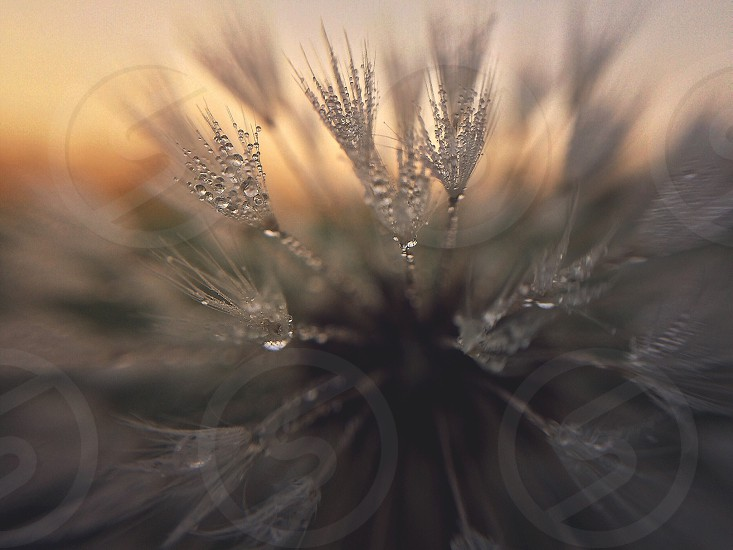 Has anyone EVER in the history of macro photography gone to shoot a dewy dandelion at sunrise and NOT seen magic?  Macro Dandelion sunrise dew nature plant light photo