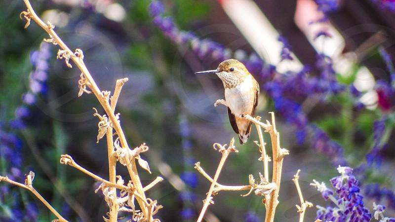 Hummingbird in Vernal UT photo