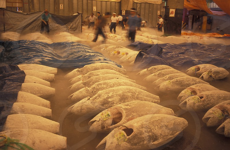 Tuna Fish at the Tsukiji Fishmarket in the City of Tokyo in Japan in Asia photo