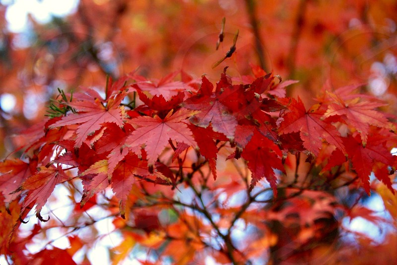 red tree leaves photo