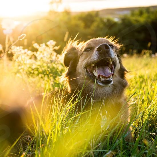 smiling shepherd dog lying green grass under the sun photo