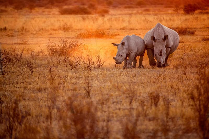 white rhinoceros on brown grassy field photo