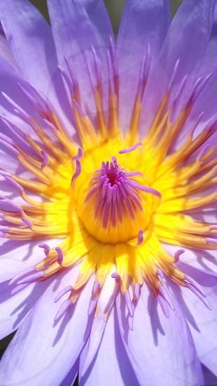 Yellow - purple lotus flower photo