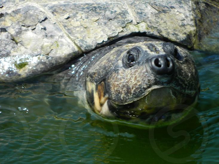 Giant Turtle  photo