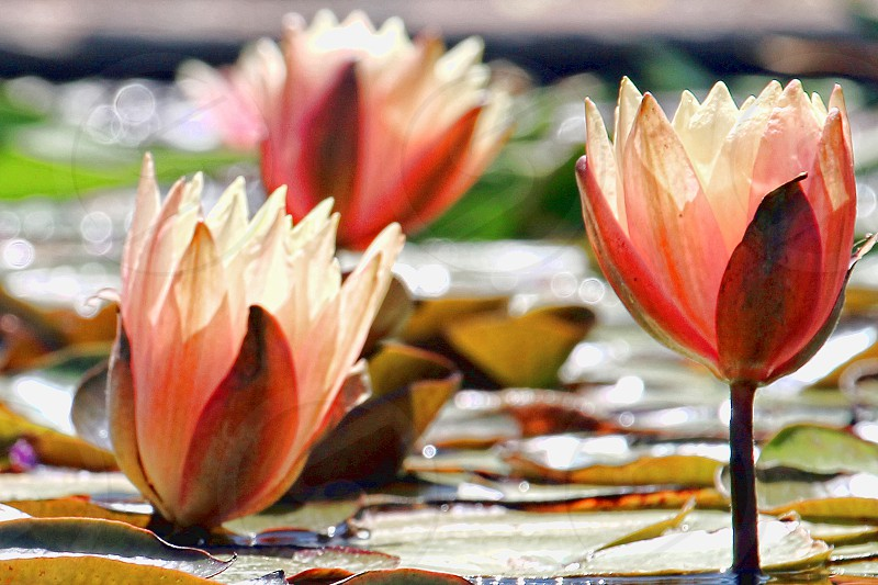 colorful coral translucent water lilies  photo