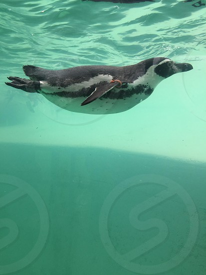 Penguin swimming  photo