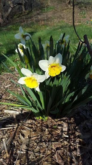 Daffodils  shadow light photo