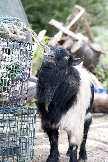 Junk yard goat. photo