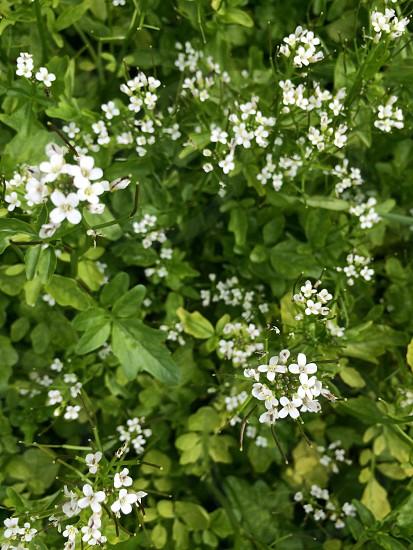 クレソンの花(Flower of the watercress) photo