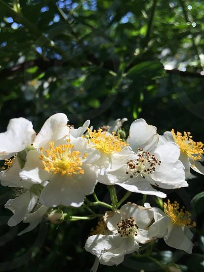 Flower wild thorn bush nature wildlife white yellow photo