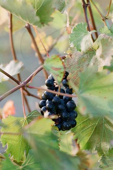 grapes vineyard wine making photo