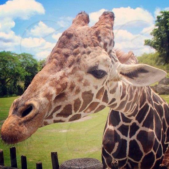 Up close and personal with a giraffe  photo