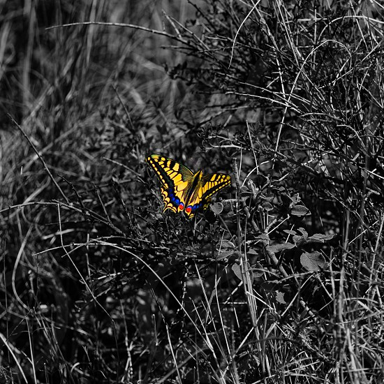 Yellow butterfly isolated from black and white bush background  photo
