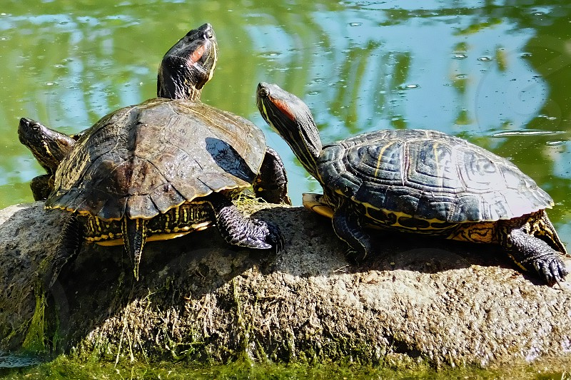 Three turtles warm themselves in the warm spring sunshine photo