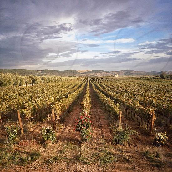 Grape fields in Bari photo