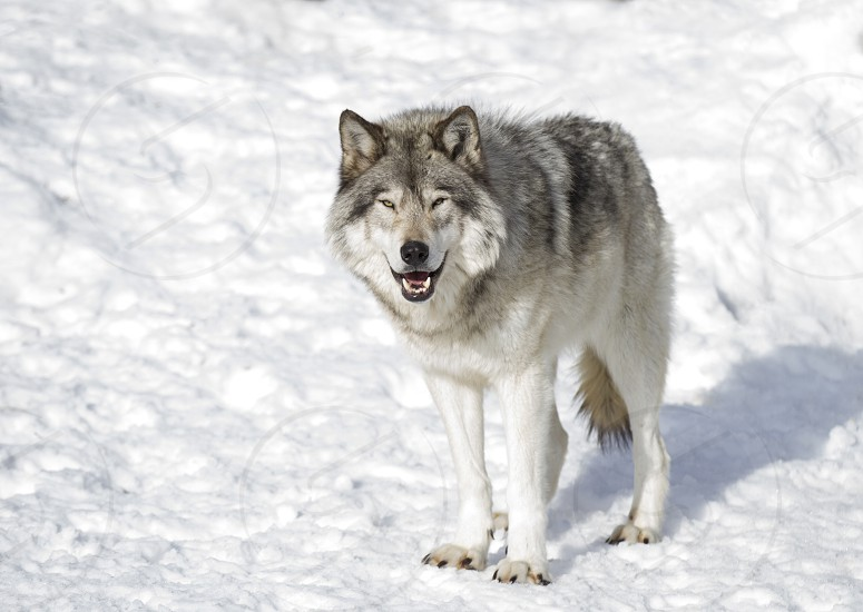 Timber wolf (Canis lupus) standing in the winter snow in Canada photo