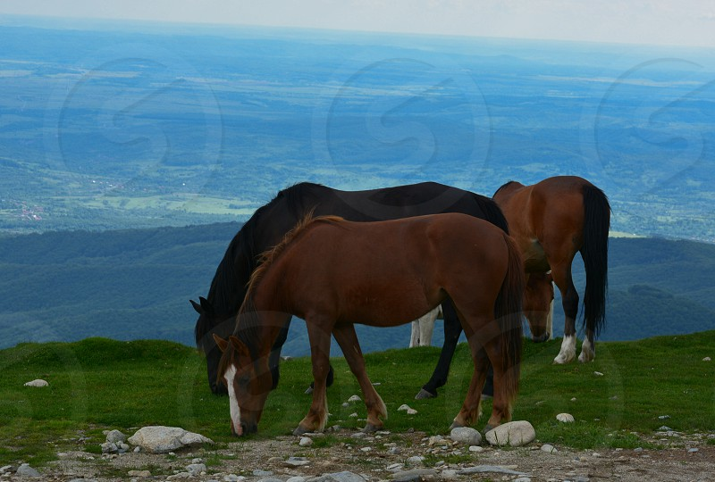 4 horses eating grass with mountain with trees as background photo