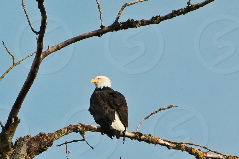 Bald Eagle Eagle bird of prey photo