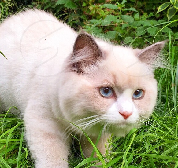 white fur cat at grass photo