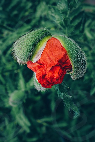 Closeup close up flower  one flower poppy red color plant details detailed freshness  botanic botany open newborn nature natures beauty beauty beautiful  photo