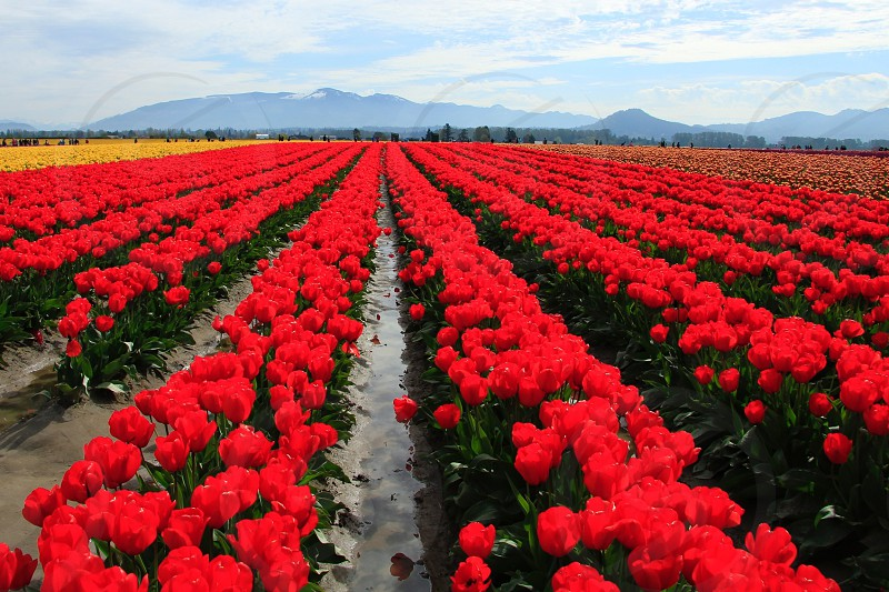 yellow and red tulips field under blue cloudy sky photo