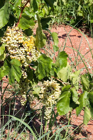 Bunches of grapes ripening in the sun photo