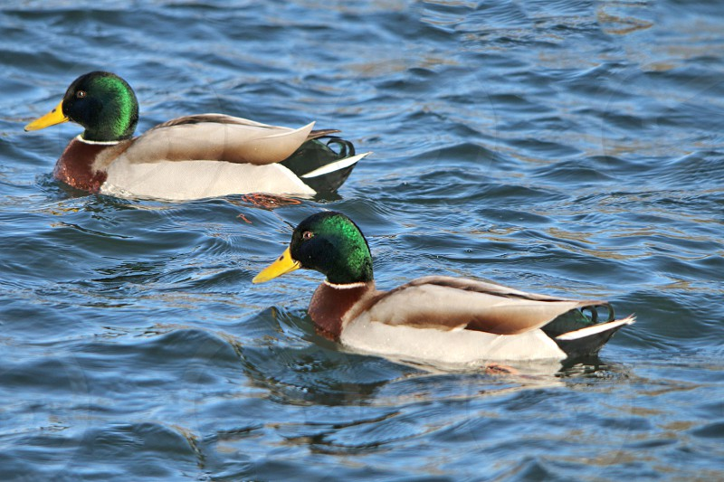 2 yellow green brown and white ducks on water photo