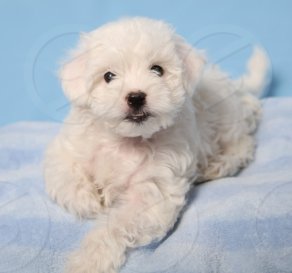 A young all-white puppy photo