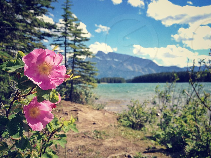 Banff Alberta is the essence of Alberta from Wild Roses (the provincial flower) to Rocky Mountains. photo